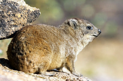2. Hyrax-Rock-Erongo-Mountains-Namibia-AR-37 1[1]